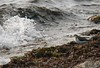 Sept 10 -- West Island -- Spotted Sandpiper