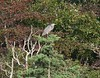 9/10/06 -- West Island marsh -- Great Blue Heron (he was watching a hawk in a neighboring tree)<br /> Not pictured--some crows surrounding a small hawk in a tree.  When the hawk flew, the crows followed.  The hawk turned and ran a crow to the ground but didn't seem to touch it...both flew off.
