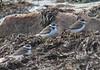 9/10/06 -- West Island Semipalmated Plovers