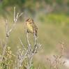 9/10/06 -- West Island marsh -- Bobolink