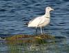 9/10/06 -- Winsegansett -- Herring Gull and Snowy Egret