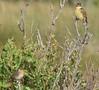 9/10/06 -- West Island marsh -- Bobolink (top) and Saltmarsh Sharp-tailed Sparrow