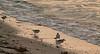 Sanderlings at sunrise.  Town Beach, West Island