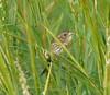 Saltmarsh Sharp-tailed Sparrow singing at Town Beach, West Island