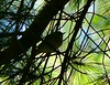 Pine Warbler singing like the middle of April