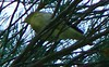 Blackpoll Warbler?