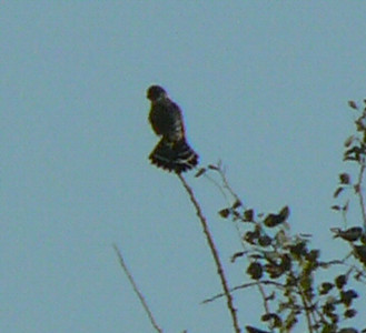Merlin...a Flicker flew in and landed nearby and was half-heartedly chased by the Merlin