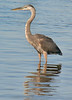 approachable Great Blue Heron at Town Beach