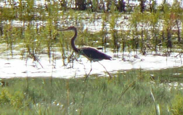 Tricolored Heron  - Boys Creek Marsh (end of Egypt Lane) - September 2