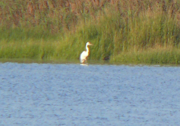 Great White Heron seen from Hacker Street - September 2