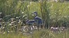 Tricolored Heron and Great Blue - Boys Creek Marsh (end of Egypt Lane) - September 2