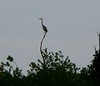 Great Blue Heron at Atlas Tack