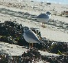 Piping Plovers inspect the ATV tracks on the Town Beach in Fairhaven - September 2