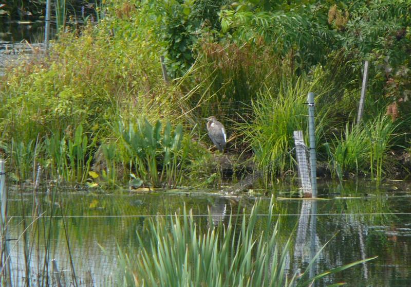 Tricolored Heron - Atlas Tack 9-8-09