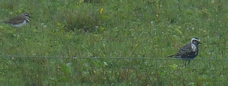 Killdeer and American Golden-Plover