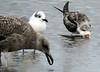 Herring Gull, Laughing Gull, Black Skimmer