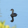 Pied-billed Grebe watching otter