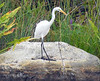 Great Egret playing with a stick
