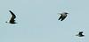 Laughing Gulls at Atlas Tack Sept 25