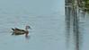 Wood Duck at Atlas Tack Sept. 26