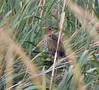 Saltmarsh Sparrow at Hacker Street Sept 25
