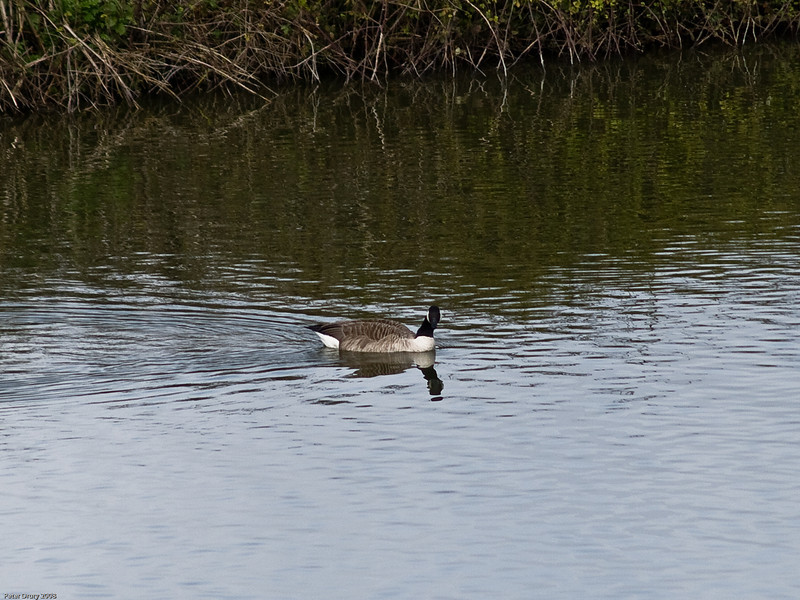 Lone male goose swims across lagoon towards a pair of Canada Geese. Copyright 2009 Peter Drury