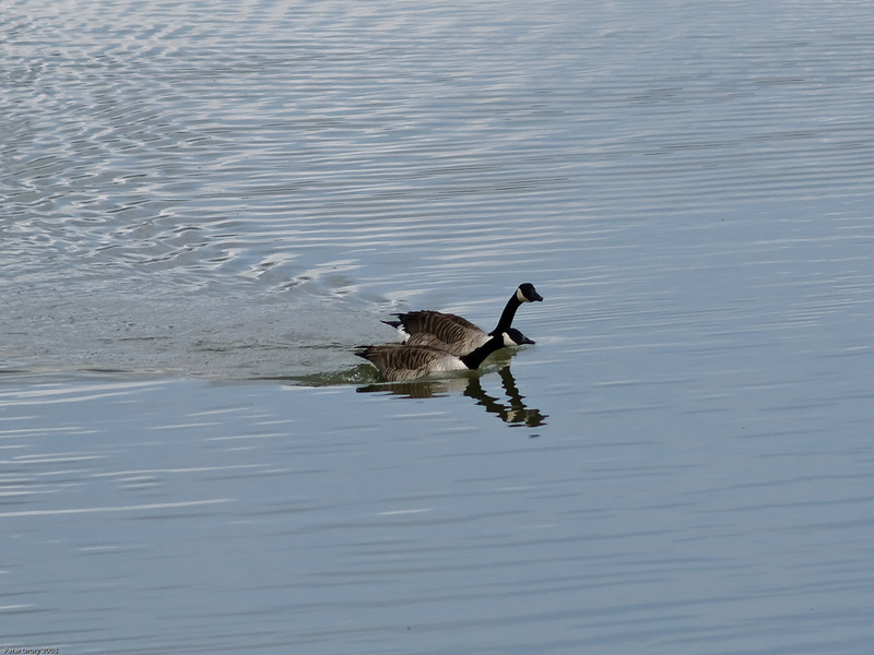 The pair swim off to establish a nesting site. Copyright 2009 Peter Drury