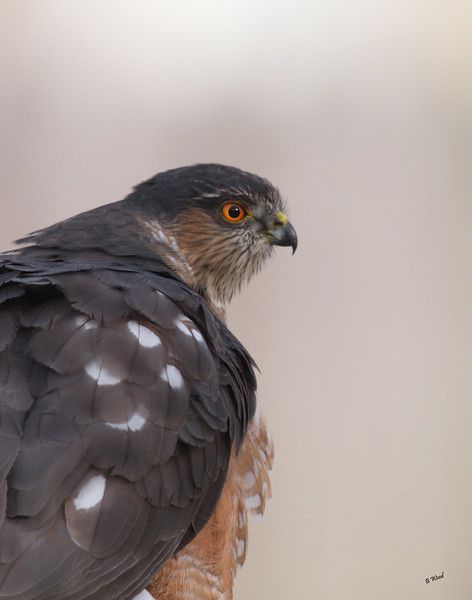 AS 07NV2830<br /> Sharp-shinned Hawk (Accipiter striatus).<br /> <br /> Males are 24 to 30 cm (9.5 to 12 in) long, have a wingspan of 52 to 58 cm (20 to 23 in) and weigh from 87 to 114 g (3.1 to 4 oz). Females average distinctly larger at a length of 29 to 37 cm (11.5 to 14.5 in), a wingspan of 58 to 68 cm (23 to 27 in) and a weight of 150 to 218 g (5.3 to 7.7 oz).
