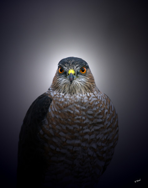 AS 07NV2841<br /> Sharp-shinned Hawk (Accipiter striatus).