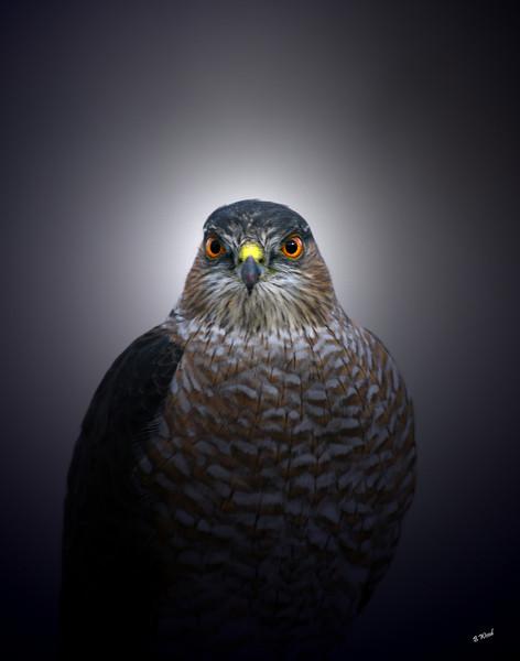 AS 07NV2841<br /> Sharp-shinned Hawk (Accipiter striatus).