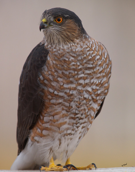 AS 07NV2856<br /> Sharp-shinned Hawk (Accipiter striatus).<br /> <br /> The Sharp-shinned Hawk is listed as a species of concern in several states and provinces. Although migration-count data have indicated a decline in populations, breeding survey data indicate an increase.