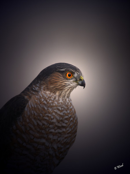 AS 07NV2834<br /> Sharp-shinned Hawk (Accipiter striatus).<br /> <br /> The sexes are similar in appearance, but the female is about one-third larger than the male.