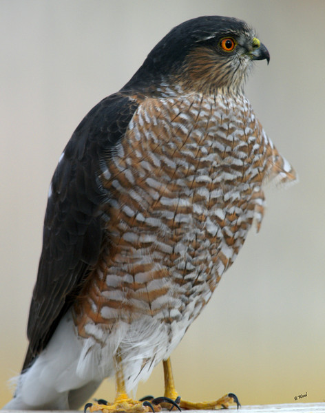 AS 07NV2842<br /> Sharp-shinned Hawk (Accipiter striatus).