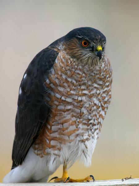 AS 07NV2846<br /> Sharp-shinned Hawk (Accipiter striatus).