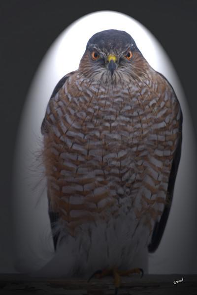 AS 07DC3949<br /> Sharp-shinned Hawk (Accipiter striatus).