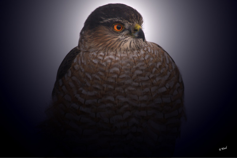 AS 07DC3959<br /> Sharp-shinned Hawk (Accipiter striatus).