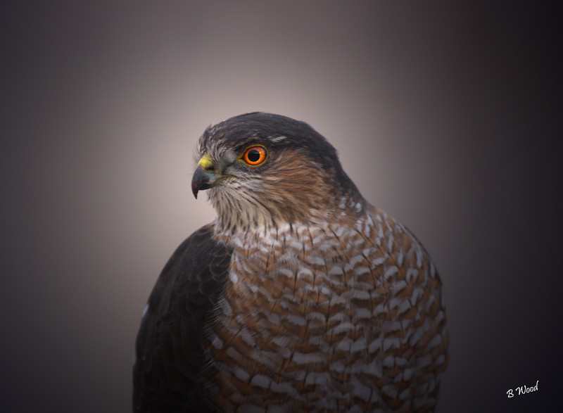 "AS 07NV2860 Sharp-shinned Hawk (Accipiter striatus).  The Sharp-shinned Hawk is a small hawk. In fact ""Sharpies"" (as they are called by North American birdwatchers), are the smallest to reside in USA and Canada."