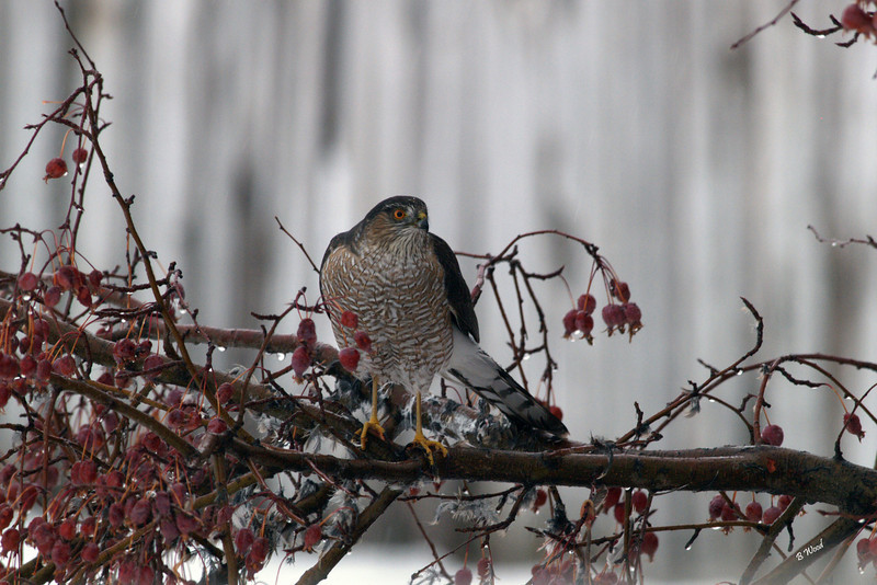 AS 07NV4089<br /> Sharp-shinned Hawk (Accipiter striatus).