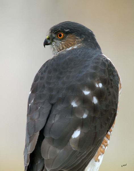 AS 07NV2872<br /> Sharp-shinned Hawk (Accipiter striatus).
