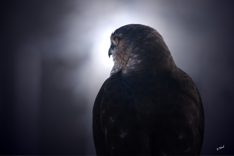 AS 07NV3500<br /> Sharp-shinned Hawk (Accipiter striatus).