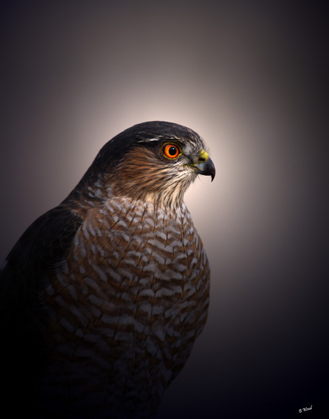 AS 07NV2835<br /> Sharp-shinned Hawk (Accipiter striatus).