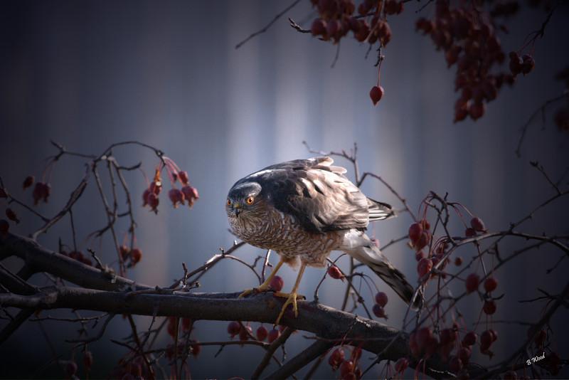 AS 07NV3057<br /> Sharp-shinned Hawk (Accipiter striatus).