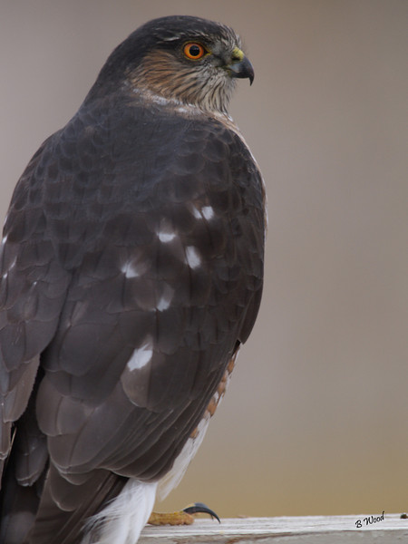 AS 07NV2875<br /> Sharp-shinned Hawk (Accipiter striatus).<br /> <br /> The adult has a dark, blue-gray back and a rusty-barred breast; immature hawks have more brown, with streaking on the underparts.