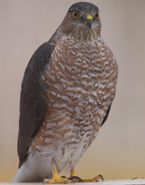 AS 07NV2854<br /> Sharp-shinned Hawk (Accipiter striatus).