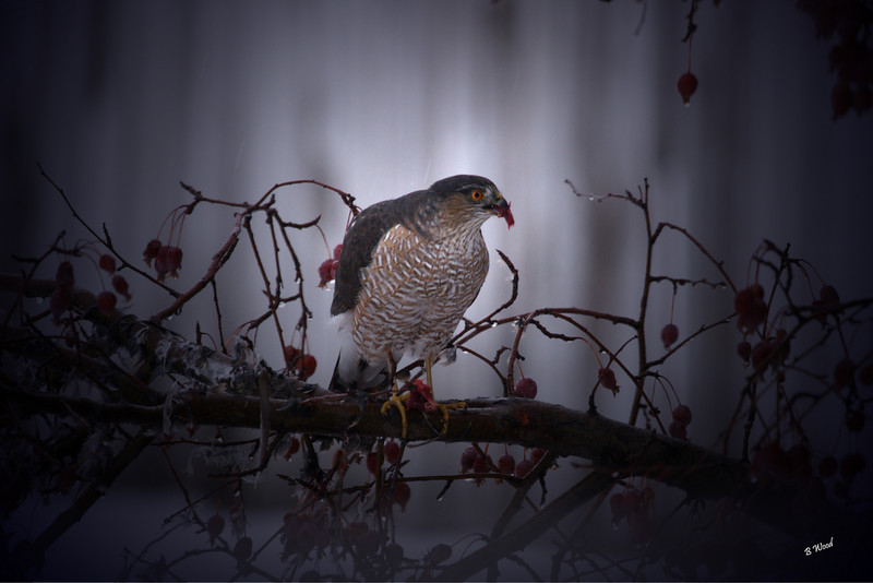 AS 07DC4041<br /> Sharp-shinned Hawk (Accipiter striatus).