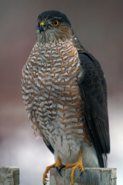 AS 07DC3975<br /> Sharp-shinned Hawk (Accipiter striatus).<br /> <br /> These birds surprise and capture all their prey from cover or while flying quickly through dense vegetation. They are adept at navigating dense thickets. The great majority of this hawk's prey is small birds.