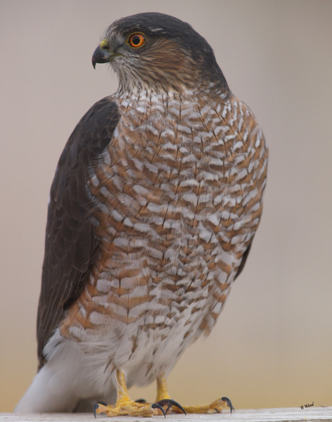 AS 07NV2851<br /> Sharp-shinned Hawk (Accipiter striatus).<br /> <br /> Adults have red or orange eyes while juveniles have yellow eyes.