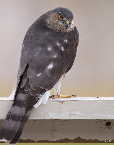 AS 07NV2886<br /> Sharp-shinned Hawk (Accipiter striatus).