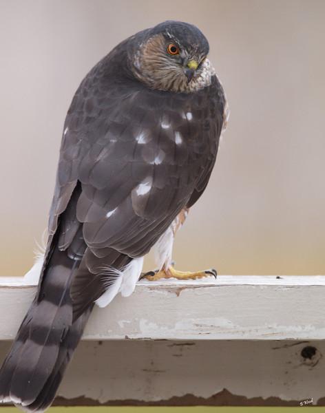 AS 07NV2886<br /> Sharp-shinned Hawk (Accipiter striatus).
