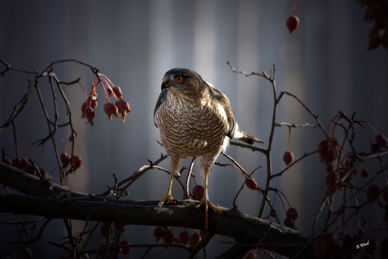 AS 07NV3062<br /> Sharp-shinned Hawk (Accipiter striatus).